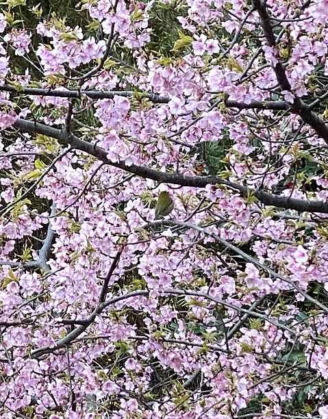 芝桜2021
